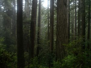 Prairie_Creek_Redwoods_-_Coastal_Redwood_Forest by Owen Lloyd, PD