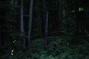 Photinus_Carolinus_Fireflies, by Radim Schreiber, CC-SA 3.0