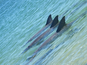 synchronized dolphins, cc by 2.0