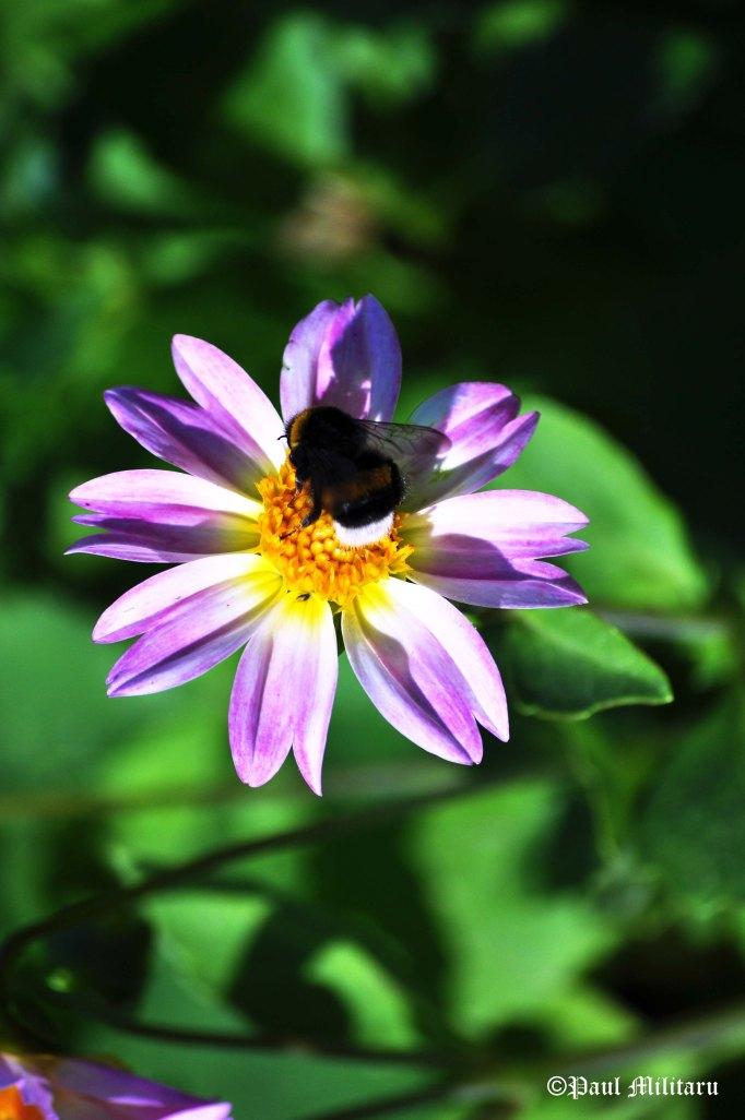 dahlia and a bumblebee